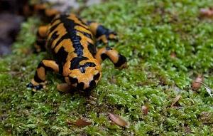 La Salamandra Pezzata, uno degli abitanti della Valle delle Ferriere