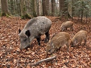 Boars in the Regional Park of the Monti Picentini
