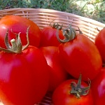 "Pomodoro Re Umberto, il ""Re dei pomodori"""